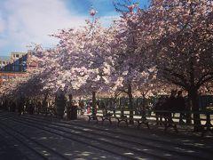 王立公園 4月には日本人会による桜まつりが開催されます。 まだ桜が咲いてました。