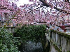糸川遊歩道沿いに咲く、早咲きのあたみ桜。7分咲きくらいかな。