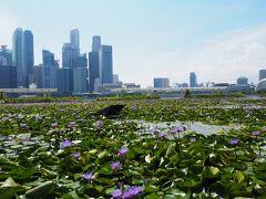 アートサイエンスミュージアム前に蓮の花が広がっていました。
