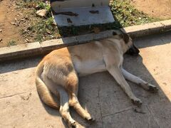 トルコは街中猫だらけの猫大国だとか、そもそもムスリム自体が猫をとても大事にしている、という話をご存知の方も多いと思います。  でも実はイスタンブールは野良犬も多いです!!ただ日本の野犬のイメージ(危ない、野蛮、汚い)とは全く異なり、たいていの犬はこんな感じで寝ています。  ムスリム自体は犬を汚れた生き物として遠ざける教えがあるそうですが、トルコは元来遊牧民としての文化も内包しているので、犬やそもそも生き物全般に対して寛容、共生していこうという面も感じます。  トルコという国、国民、文化が歩んできた歴史がにじみ出てくる部分だなと、勝手に解釈してしまいました(笑)