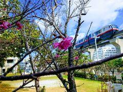 北部から開花する寒緋桜も、那覇でもぼちぼち開花し始めてた。