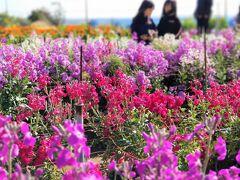 気温は16度。車を降りると目の前に広がる花畑と甘い香り。
