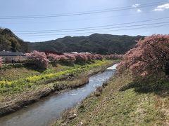 気を取り直して早咲きで知られる河津桜の鑑賞へ。 長閑でいい景色です。 ただ、昨日の春一番の影響が残っていて風がとても強く、花粉症にとっては最も良くない状況。 くしゃみが止まりませんでした。