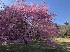 河津桜の原木へ行く途中で見かけた桜。 来宮神社の鳥居を過ぎたところにあり、ちょうど満開でした。
