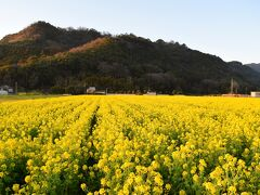 すっかり夕方になってしまいました 道の駅 原鶴ファームステーション バサロ、の 菜の花畑
