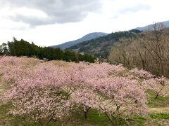 続いて、茨城県フラワーパークへで河津桜鑑賞です。 コロナの影響で、他の観光バスもおらずなんともさみしい…。  河津桜は丘の上に位置します。 坂道を役15分登って行きます…。