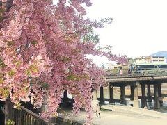 三条大橋沿いの早咲きの桜が満開でした^^