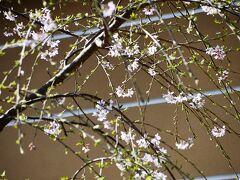 建長寺の枝垂れ桜 もう少し