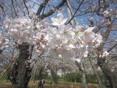 洗足池公園では満開とまではいきませんが、場所によっては結構桜が咲いていました