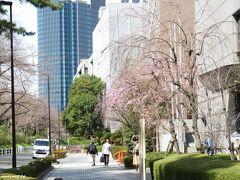 紀尾井ホール近くの枝垂れ桜