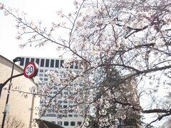 ソフィア通りの桜  満開にはまだ少し時間が掛かりそうです。