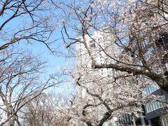 外濠公園の桜 法政大学前  この辺りは人通りも少なく、ゆっくりお花見ができます。