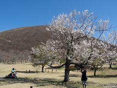 伊豆高原の大室山に到着。ここにある桜の里で桜が見られると道の駅で聞いてきました。桜の里は、9月から5月まで約40種類の桜が咲き続けるとのこと。今の盛りは、伊東桜。