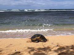 ハレイワタウンに行く前に、ウミガメさんに出会いたくて、 ビーチに寄ってもらいました。  海辺に着くと、早速いたーーーーーーー!!!!