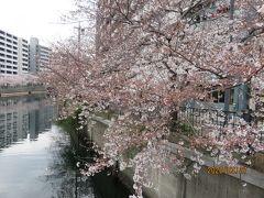 横浜の花見の名所の一つ 大岡川沿いの桜  川面に桜が枝を張って、その下を花見の船が行き交い、川岸には屋台が並んで賑わうのですが