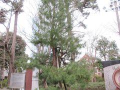 水盤舎近くに植えられているコウヤマキは40年ほど前、アメリカのブッシュ大統領が副大統領時代に、増上寺を訪れた際に植えられたものです。境内の他の木々と比べるときゃしゃでした。40年ほどでは木の成長はこのくらいなのでしょう。