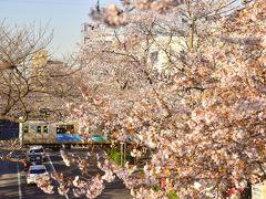 という訳で、西武新宿線の新井薬師前駅近くにあります中野通りの桜並木にやって来ました 中野駅北口から新井薬師の横を抜けて新青梅街道までの約2kmに綺麗な桜並木が立ち並ぶ、知る人ぞ知る桜の名所としても大変有名なお花見スポットですよねえ