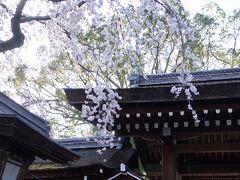 平野神社の桜といえば「魁(さきがけ)」。 平野神社発祥の桜で、この花が咲き始めると京都のお花見が始まると言われています。  五分咲きぐらいかな。