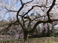 近衛邸の糸桜。こちらも五分咲きぐらいでしょうか。