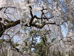 60本ほどの枝垂れ桜の競演。  人出はやはり少ないですね。ソーシャルディスタンスを保って撮影することができます。