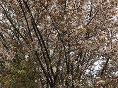 山桜がきれいに咲いています。