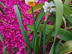 3/9 碑文谷公園の寒緋桜はほとんど散っていたが、水仙と寒緋桜の花びらが綺麗だったのでパチリ