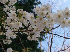 3/19 林試の森公園 染井吉野はまだまだでしたが、ミカドヨシノが満開