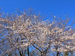 3/25 林試の森公園 天気が良いので早朝行ってみたが、染井吉野は満開まではあと一息