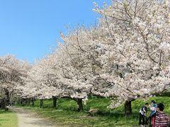 権現堂公園は関東屈指の桜の名所。約1km続く千本桜のトンネルと広大な菜の花畑のコントラストが素晴らしい。 6月はあじさい、9月は彼岸花が見られます。