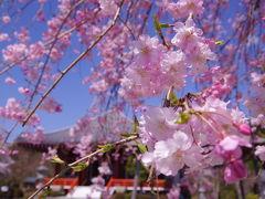 ここから4/6(月)です。  この日は午前中だけ出勤して、午後半休をもらいました。  会社を出発して、まずは桜の開花状況が七分咲きとなっていた油日神社に向かおうとしたのですが、途中で通り過ぎたこちらの櫟野寺(らくやじ)の桜がキレイ過ぎて思わずUターンして駐車場に車を停め、立ち寄りました!   櫟野寺と言えば、2018年12月に「33年に1度の十一面観世音菩薩の大開帳」を見に来たお寺です! JR西日本の駅のパンフレットのラックにも冊子が置いてあって、注目度が高いんだなーと思いましたが、そんな場所が職場から車で10分ほどで来れる距離にあるなんてラッキー!と思った記憶が。 その時の旅行記は↓ https://4travel.jp/travelogue/11431456 (2018年12月)