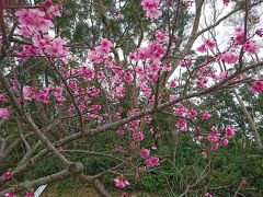 八重岳の桜  コヒカンザクラ
