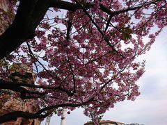 桜  これは、2/22にいったディズニーシー