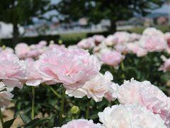 五泉の東公園 しゃくやくが咲いていた