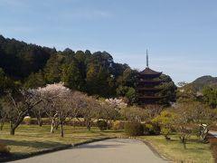 ここの桜はもしかしたら初めてかも