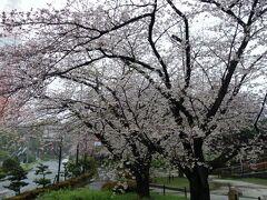 芝公園17号地の桜