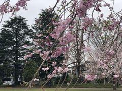 3月30日。 北区西ヶ原の「みんなの公園」です。東京外語大学の跡地にできた公園です。 ここの河津桜がきれいですが、もう終わってしまって、今は枝垂れ桜の時期です。