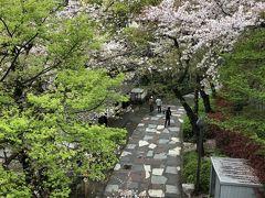 音無親水公園も桜がきれいです。モミジの黄緑の新芽があざやか。