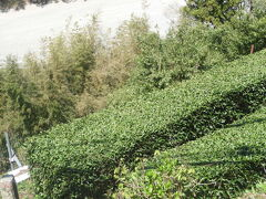 飯田線からの車窓  中井待駅付近 茶畑