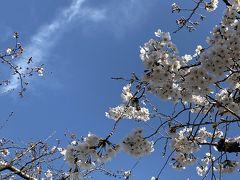 そして桜です!