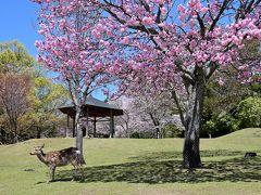 お、こちらもピンクの桜と鹿の共演が♪ 「奈良公園」らしい、穏やか~な光景ですねぇ。
