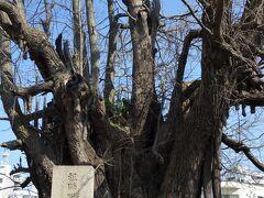 逆さ銀杏。 貞永元(1232)年、善福寺を訪れた親鸞聖人が立ち寄った記念に、持っていた杖を地にさしたところ枝葉が繁茂したと言われています。樹齢750年余、都内最古の古木として国指定の天然記念物になっています