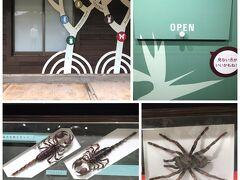 コテージの一角に名和昆虫博物館があり、ちょっとのぞいてみます。 ギフチョウの発見者の名和靖氏のゆかりの博物館とか。 大きなタランチュラも!