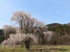続いて向かったのは、国営あづみの公園にあるという大しだれ桜。