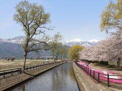 この桜の景色が、いまや安曇野の定番ビュースポットのようです。