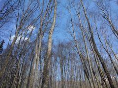 スギ林を抜けると、ブナのすらりとした木々が見えてきました。