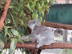 もぐもぐしているコアラ。やっぱり見ていて飽きません。