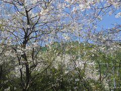 清峰高校前駅停車中です。実は唐津線の西唐津から、筑肥線そして松浦鉄道の駅で順番に全て写真撮って来ていたのです。 でも一つ前の神田駅からもう撮るの止めようと急に思って、敢えて撮らなかったのですが、 この駅の桜を見て、また撮ってしまいました。
