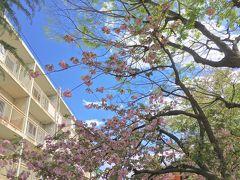 また少し川沿いを歩き、音無さくら緑地まで行きました。 半ば葉桜になった八重桜が咲いていました。