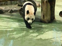 やった動いてる!並ぶこともなく見れちゃいました♪ なんなら最初と最後に2回パンダ館にお邪魔。  上野動物園よりはるかにいいじゃん♪