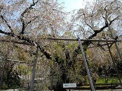 円山公園の東側から公園内に入って行きました。
